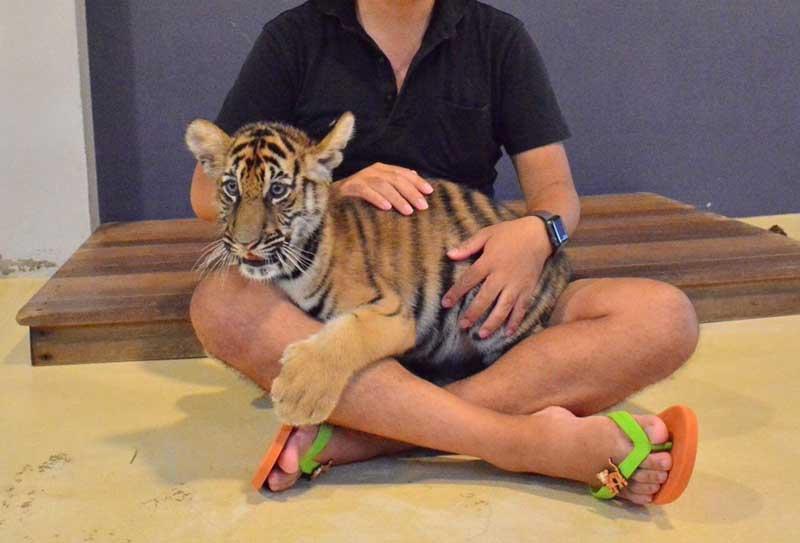 トラの赤ちゃんと遊べる