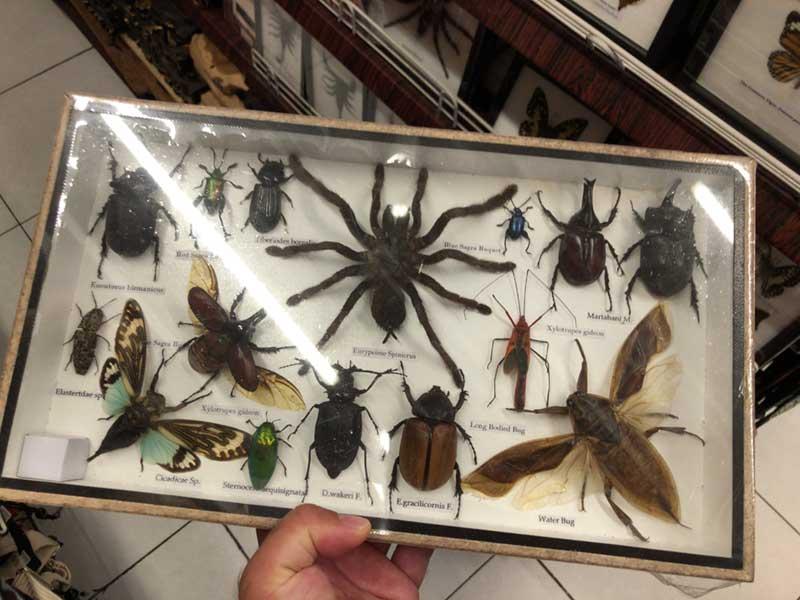大型昆虫の標本も激安